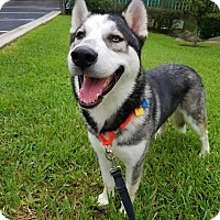 Adopt A Pet :: Shadow - Clearwater, FL