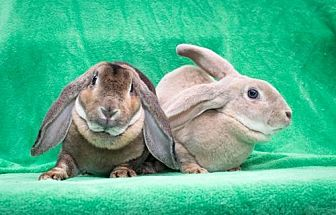 Lop, English for adoption in Baton Rouge, Louisiana - Missy & Mary