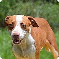 Adopt A Pet :: 10311636 BAYLOR - Brooksville, FL