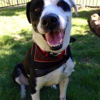 Adopt A Pet :: Loki - McKinney, TX