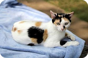 Domestic Shorthair Cat for adoption in Salem, New Hampshire - GAIA