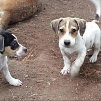 Adopt A Pet :: Hound Pups - New Hartford, NY