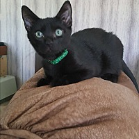 Domestic Shorthair Kitten for adoption in San Diego, California - DUDLEY **SEE MY VIDEO**