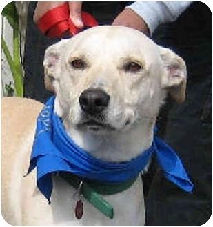 Labrador Retriever/Shepherd (Unknown Type) Mix Dog for adoption in Poway, California - Skeeter