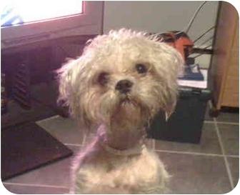 Shih Tzu Mix Dog for adoption in Westport, Connecticut - Mac