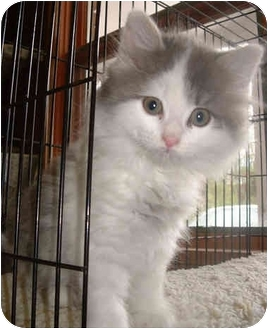 Domestic Longhair Kitten for adoption in Honesdale, Pennsylvania - Chloe