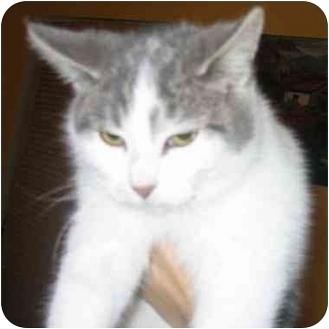 Domestic Shorthair Kitten for adoption in Toronto, Ontario - Shahnaz