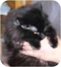 Domestic Mediumhair Cat for adoption in Fayette, Missouri - Abracadabra