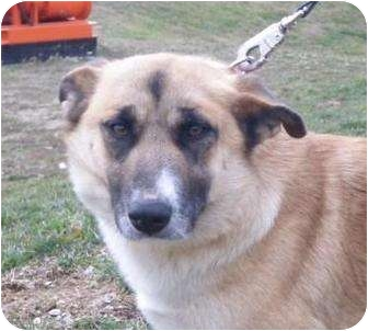 Corgi Mix Dog for adoption in Huntingburg, Indiana - Jenn