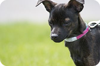 Chihuahua Mix Puppy for adoption in Broomfield, Colorado - Primrose