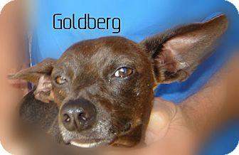 Dachshund Mix Dog for adoption in Beaumont, Texas - Goldberg