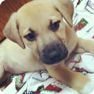 Shepherd (Unknown Type)/Labrador Retriever Mix Puppy for adoption in Gainesville, Florida - Marlee