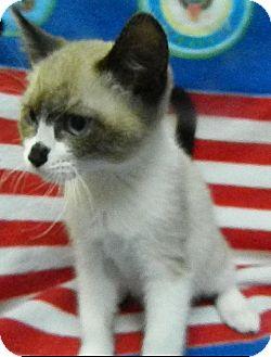 Siamese Kitten for adoption in Dublin, Georgia - Skyler