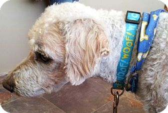 Poodle (Miniature) Mix Dog for adoption in Kingwood, Texas - Sparky