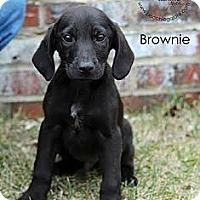 Adopt A Pet :: Brownie - South Jersey, NJ