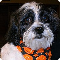 Adopt A Pet :: Daisy - cameron, MO