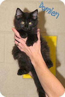 Domestic Mediumhair Cat for adoption in Lewisburg, West Virginia - Damien