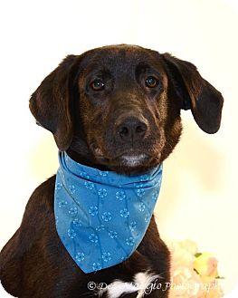 Labrador Retriever/Great Pyrenees Mix Dog for adoption in Farmington Hills, Michigan - Blanton
