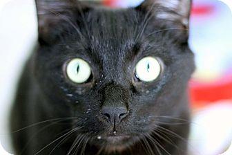 Domestic Shorthair Cat for adoption in Chicago, Illinois - Mr. Bojangles