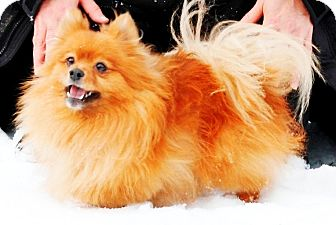 Pomeranian Dog for adoption in Osseo, Minnesota - Buddy