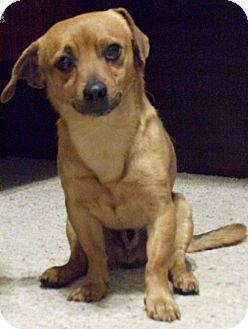 Dachshund/Chihuahua Mix Dog for adoption in Vancouver, Washington - Bistro