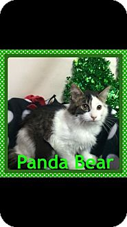 Turkish Angora Kitten for adoption in Pahrump, Nevada - Panda Bear