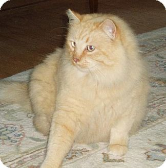 Maine Coon Cat for adoption in Oakland, California - Buffy