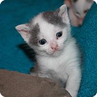 Adopt A Pet :: Sayuri 2 - Plainville, MA
