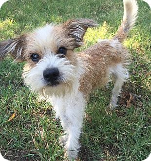 Jack Russell Terrier Mix Puppy for adoption in Dallas/Ft. Worth, Texas - Alfie In Denton ADOPT PENDING