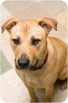 German Shepherd Dog/American Staffordshire Terrier Mix Dog for adoption in Portland, Oregon - Sasha