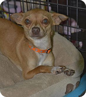 Chihuahua Mix Dog for adoption in Meridian, Idaho - McFly