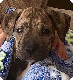Labrador Retriever/Pit Bull Terrier Mix Puppy for adoption in Hockessin, Delaware - Belle