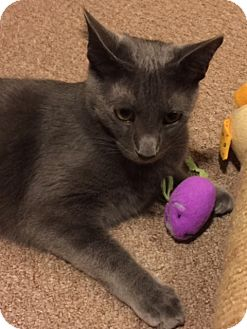 Russian Blue Cat for adoption in Chattanooga, Tennessee - Oliver