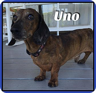Dachshund Dog for adoption in Green Cove Springs, Florida - Uno