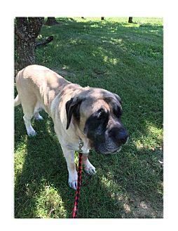 Mastiff Dog for adoption in LaGrange, Kentucky - FRISBEE
