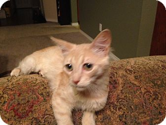 Domestic Shorthair Cat for adoption in Plano, Texas - PIPPA-MUST SEE VIDEO