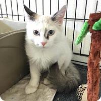 Adopt A Pet :: Leon - Fountain Hills, AZ