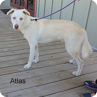 Husky Mix Puppy for adoption in Slidell, Louisiana - Atlas