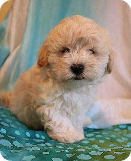 Shih Tzu/Poodle (Miniature) Mix Puppy for adoption in Hagerstown, Maryland - Ghost