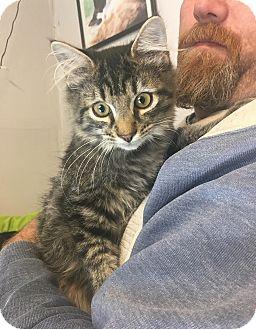 Domestic Mediumhair Cat for adoption in Loogootee, Indiana - Buzz
