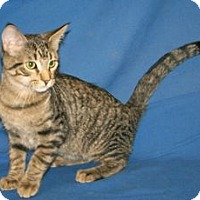 Adopt A Pet :: K-Sasha3-Shane - Colorado Springs, CO