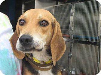 Beagle Dog for adoption in Shelter Island, New York - simon
