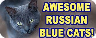 Russian Blue Kitten for adoption in Glendale, Arizona - VLADIMIR