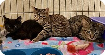Domestic Shorthair Kitten for adoption in Elyria, Ohio - Riley