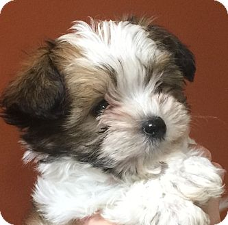 Yorkie, Yorkshire Terrier/Poodle (Miniature) Mix Puppy for adoption in Oswego, Illinois - I'M ADOPTED Confetti Clark