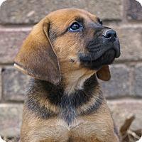 Adopt A Pet :: *Mickey - PENDING - Westport, CT