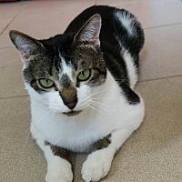 Domestic Shorthair Cat for adoption in Ann Arbor, Michigan - Kellogg