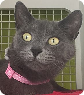 Domestic Shorthair Cat for adoption in Meridian, Idaho - Gracie
