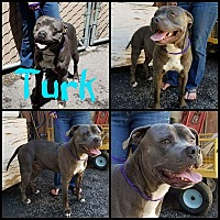 American Staffordshire Terrier Mix Dog for adoption in Lancaster, California - Turk