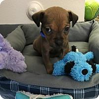 Adopt A Pet :: Manu 436182 - San Antonio, TX
